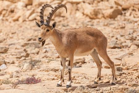 View of Nubian ibex goat.