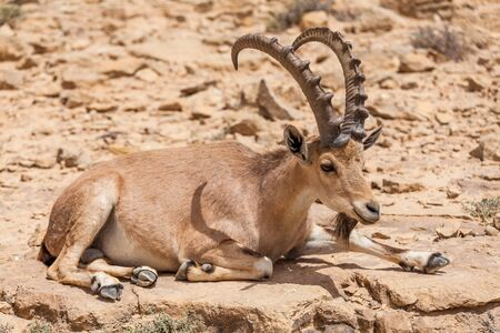 View of Nubian ibex goat.