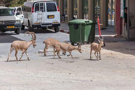 MITZPE RAMON, ISRAEL - CIRCA MAY 2018: View of Nubian ibex circa May 2018 in Mitzpe Ramon. Editorial