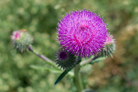 thistle in the steppe Stock Photo