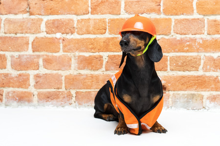 Dachshund dog, black and tan, sits on the background a brick wall, in an orange construction vest and helmet during a building renovation, helmet trimmed eyes Standard-Bild - 110133837