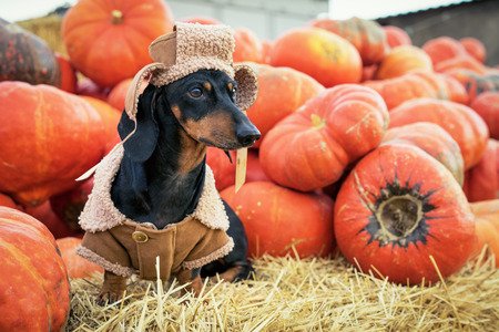 Dachshund dog, black and tan, dressed in a village hat and a sweatshirt, amid a pumpkin harvest at the fair in the autumn Stockfoto