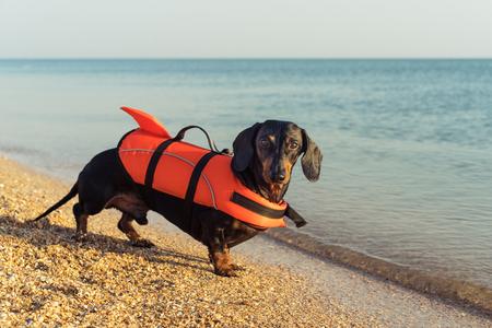 Dackel-Rasse Hund trägt orange Schwimmweste beim Stehen am Strand auf See