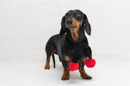 portrait of a dog breed dachshund, black and tan, wearing a black scarf with red pompons, against a white brick wall Standard-Bild - 110133853