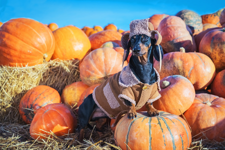 funny Dachshund dog, black and tan, dressed in a village hat and a coat, standing on a heap a pumpkin harvest at the fair in the autumn