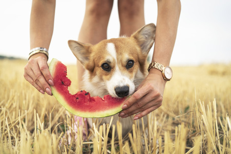 pembroke welsh corgi dog eating summer water melon from the hands of the owner in field