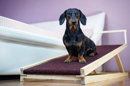 A dachshund dog, black and tan, sits on a home ramp. Safe of back health in a small dog.