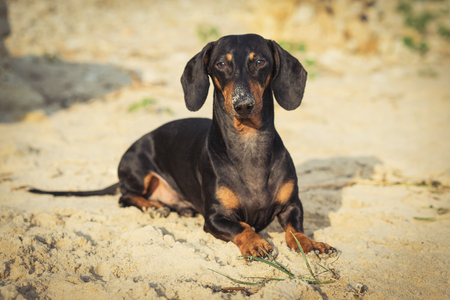 dog of the Dachshund breed, black and tan, lies on a sandy beach by the sea, smeared his nose in the sand, looks into the camera