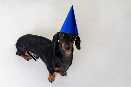 Cute dog dog (puppy) of the dachshund  breed, black and tan, wearing a blue party a happy birthday hat isolated on gray background