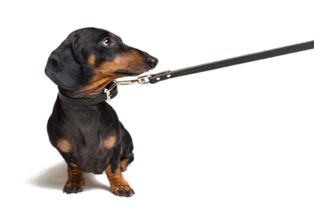 cute dachshund dog, black and tan, waiting and begging to go for a walk with owner,   pull the leash, isolated on white background