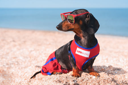 A dog Dachshund breed, black and tan, in a red blue suit of a lifeguard and red sunglasses, sits on a sandy beach against the sea Stockfoto