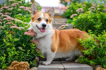 cute puppy welsh corgi dog standing in a flower bed, for a walk in the park in the summer