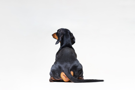 dog breed of dachshund, black and tan looking straight, from behind showing back and  rear torso , while sitting, isolated on gray background Stock Photo