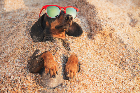 chien mignon de teckel, noir et feu, portant des lunettes de soleil rouges, se relaxant et s'amusant enterré dans le sable à la plage océan pendant les vacances d'été