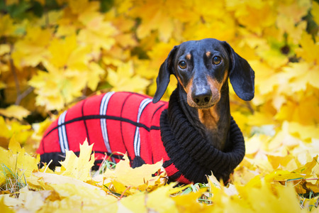 Teckelhond, zwart en bruin, gekleed in een rode gebreide trui in een stapel herfstbladeren in het herfstpark