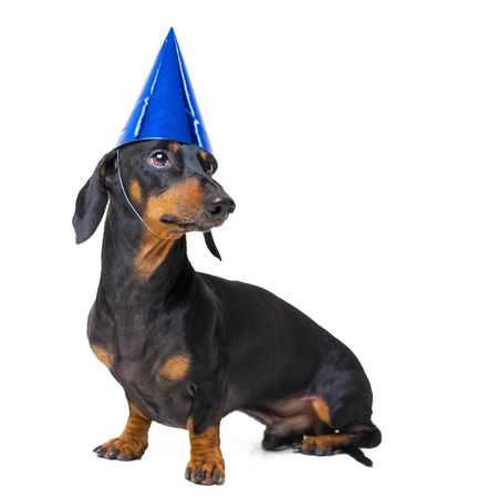 Dachshund dog, black and tan, in a festive birthday blue cap isolated on white background
