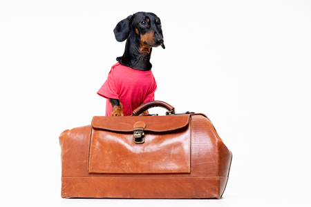 Dachshund breed dog, black and tan, in a  pink t-shirt standing on a vintage suitcase for travel on vacation, isolated on gray background Standard-Bild - 118195095