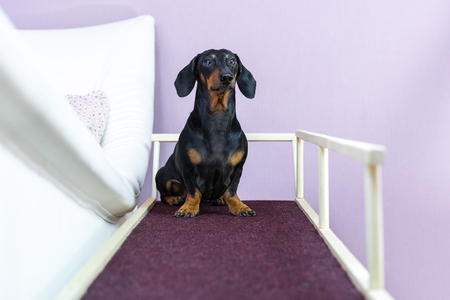 A dachshund dog, black and tan, sits on a home ramp. Safe of back health in a small dog. Stock Photo - 118195100