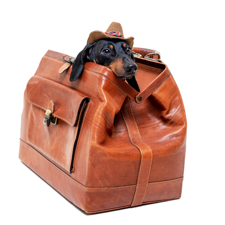 Dachshund breed dog, black and tan, in a cowboy hat hid in a vintage suitcase for travel, isolated on white background Standard-Bild - 118195108