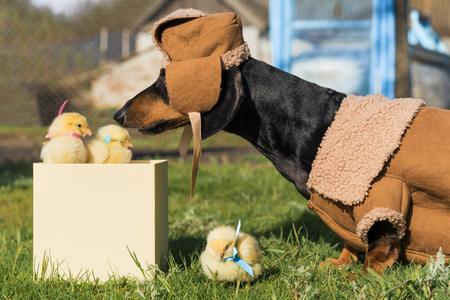 A dachshund dog dressed in warm country clothes, a sweatshirt and a hat, sniffs newborn yellow chickens that look out of a gift box. Standard-Bild - 118374730