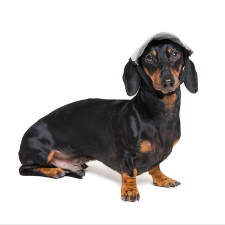 beautiful dachshund dog, black and tan, wearing a gray cap, isolated on white background Stock Photo