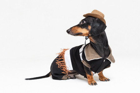 portrait of cute dachshund dog with Cowboy costume and western hat isolated on gray background. Festive costume clothes for dogs.