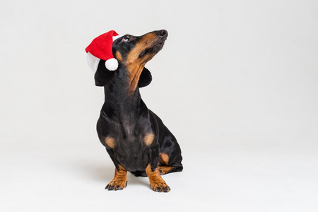 Dachshund breed dog, black and tan, wearing in red Christmas  Santa Claus  hat isolated on a gray background Standard-Bild - 118214901