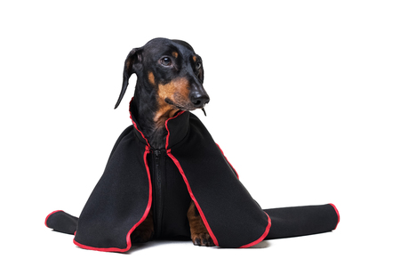 Dachshund dog, black and tan, dressed in a black long mantle robe for a carnival party, isolated on white background Standard-Bild - 118214911