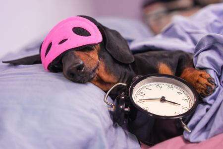 Black and tan dog breed dachshund sleep in bed with sleeping mask and alarm clock. Live with schedule, time to wake up. Stock Photo - 118214945