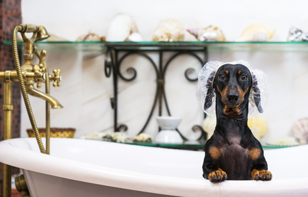 A cute little dog dachshund, black and tan, taking a vintage bubble bath with his paws up on the rim of the tub Stock Photo