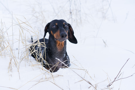portrait beautiful dachshund dog, black and tan, on nature in winter on snow Stock Photo