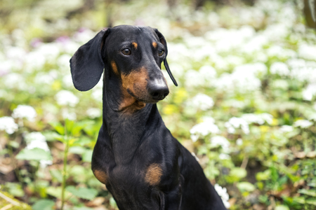 amazing portrait of young dog Dachshund breeds, black and tan,  in grass and flowers walking in the spring forest Standard-Bild - 118375115