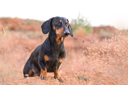 Happy dog breed dachshund, black and tan, is sitting on a large rock on a background of mountains, desert and sky Stockfoto