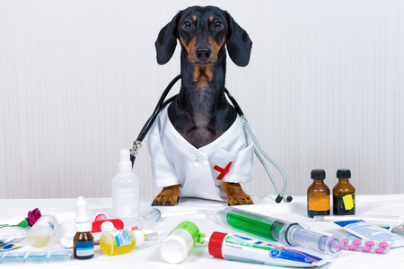dachshund dog, black and tan, as a medical veterinary doctor with stethoscope, standing on the table with medical equipment and medicines, syringe, pills
