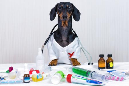Perro dachshund, negro y fuego, como médico veterinario con estetoscopio, de pie sobre la mesa con equipos médicos y medicamentos, jeringas, pastillas