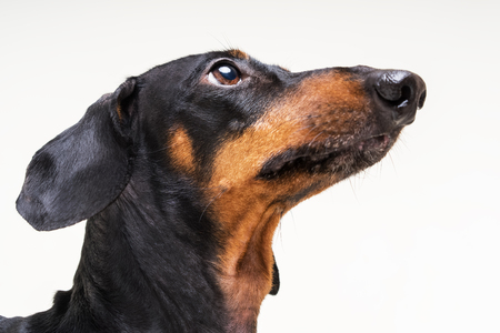 Close-up portrait of a dog dachshund on a gray background
