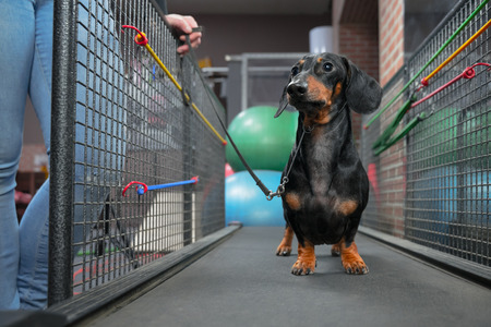dachshund dog walking on treadmill to get them of healthy indoor exercise in the fitness club