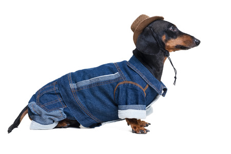 portrait in full growth dachshund dog, black and tan, wearing western Cowboy hat and jeans costume, isolated on white background. Festive costume clothes for dogs. Standard-Bild - 118375441