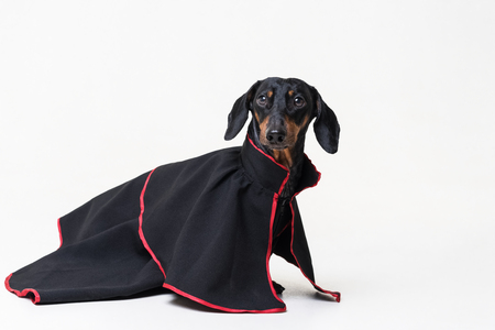 Dachshund dog, black and tan, wearing clothes in a black long retro dress gown for the holiday, isolated on gray background