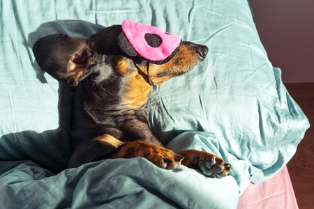 Dog dachshund puppy asleep comfortably  in bed in the rays of the morning sun with a bandage for sleeping on the face