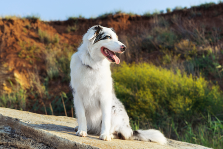 Happy Australian Shepherd Aussie dog sitting on a large rock on a background of mountains and blue sky Imagens