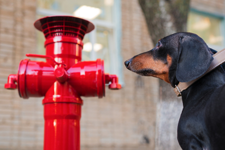 A dachshund dog looks at the red fire hydrant.
