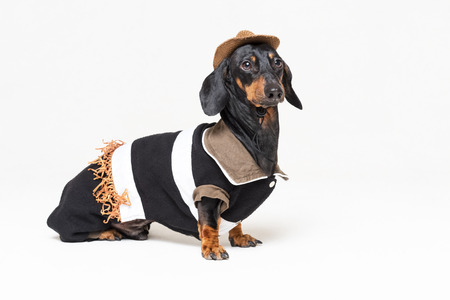 Funny dachshund dog with Cowboy costume and western hat isolated on gray background. Stock Photo - 118376386