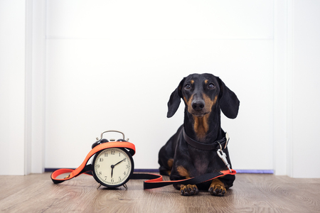 Black and tan dog breed dachshund sit at the door with a leash and alarm clock, cute small muzzle look at his owner and wait for a walk. Live with schedule, time to walk outdoor. Standard-Bild - 118213029