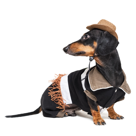 portrait of cute dachshund dog with Cowboy costume and western hat isolated on white background. Festive costume clothes for dogs.