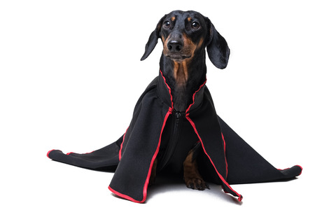 Dachshund dog, black and tan, wearing clothes in a black long dress for a holiday, isolated on a white background Standard-Bild - 118126224
