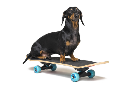 dog breed Dachshund, black and tan, sits on skateboard isolated on white background. Skateboarding dog.