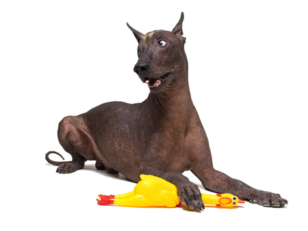 Mexican Hairless dog, xoloitzcuintli, lies on a isolated white background, holding a yellow rubber toy of a cock with a paw. Change the symbol of the animal year