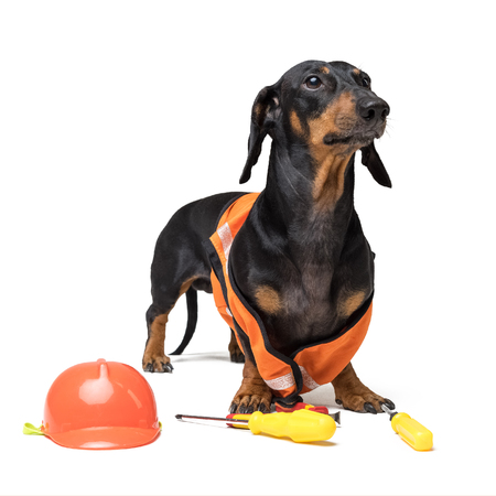 Dog builder dachshund in an orange construction helmet with various construction tools (screwdriver, pliers), isolated on white background