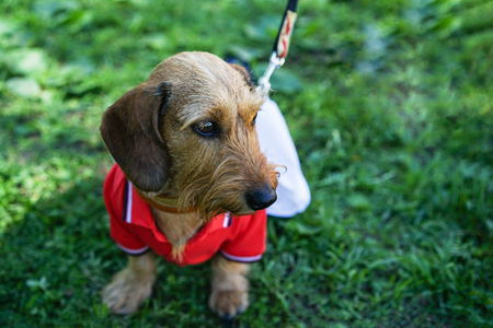 Portrait dog of the Dachshund breed in the suit of a tennis player in the park at a parade dachshund in St. Petersburg Standard-Bild - 118904263